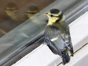 Птица ударилась, или стучит в окно