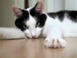 лежит черно белая кошка