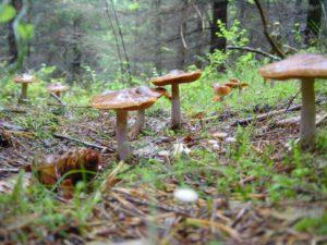 Много грибов в лесу - к серьезным потрясениям?