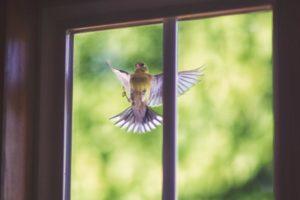 Примета птица ударилась в окно и улетела