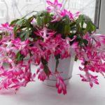 Цветок декабрист можно ли держать дома приметы
